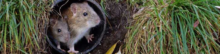 The Pest Technician - Rat, Mice & Rodent Pest Control & Removal